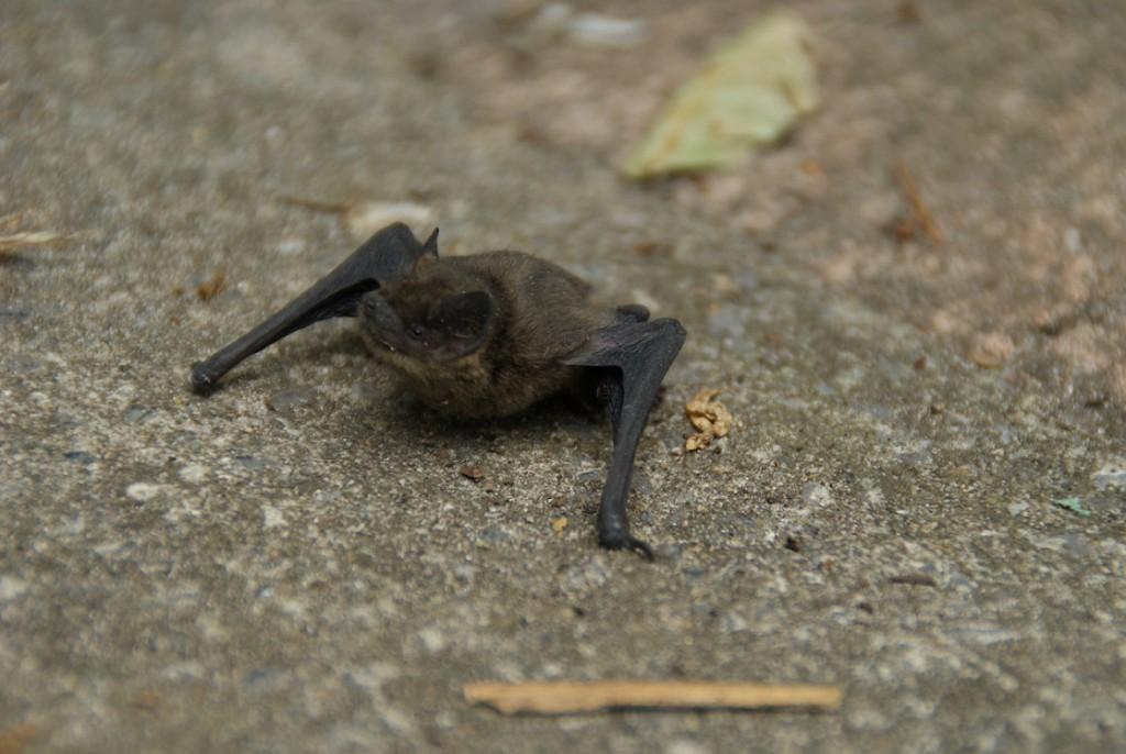 vleermuis in tuin